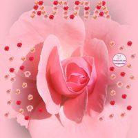 Алла, открытка с розой