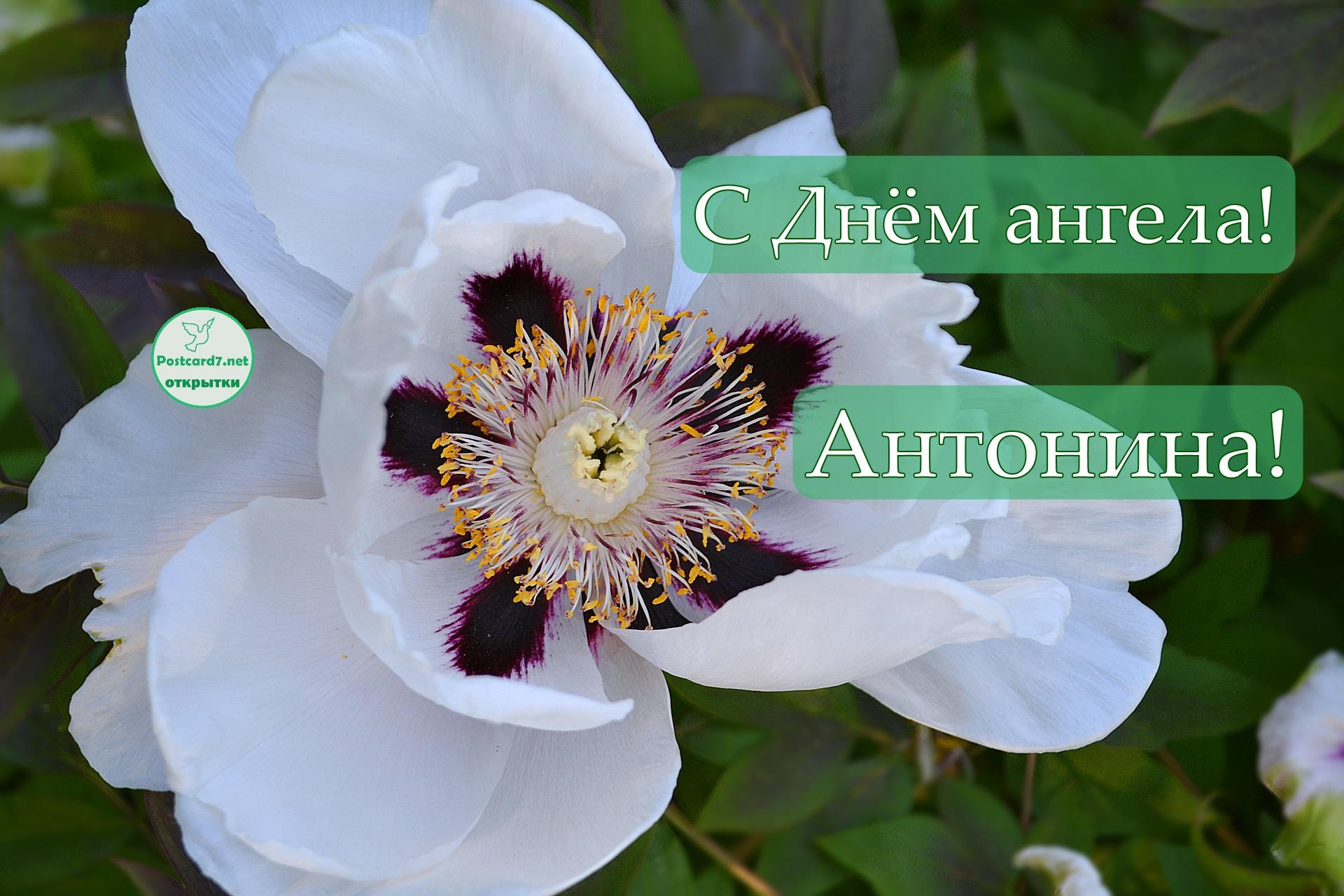 Белый пион Антонине в День ангела, открытка