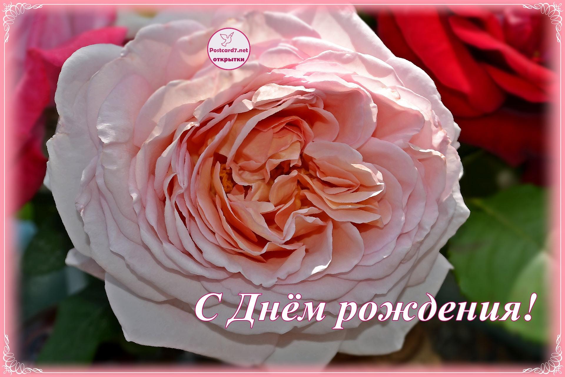 Ароматная роза, открытка с Днём рождения