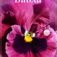 Лиловая виола для Ольги, открытка