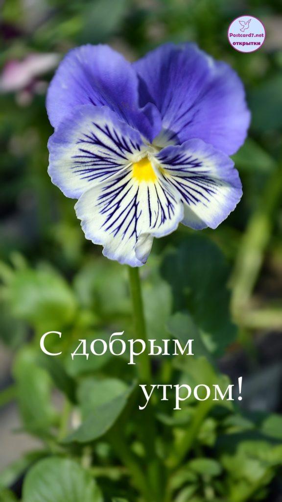 Виола, утренняя открытка, с добрым утром