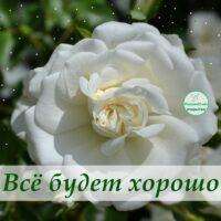 Всё будет хорошо, открытка с белой розой