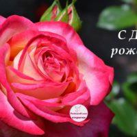 открытка, роза, с днём рождения
