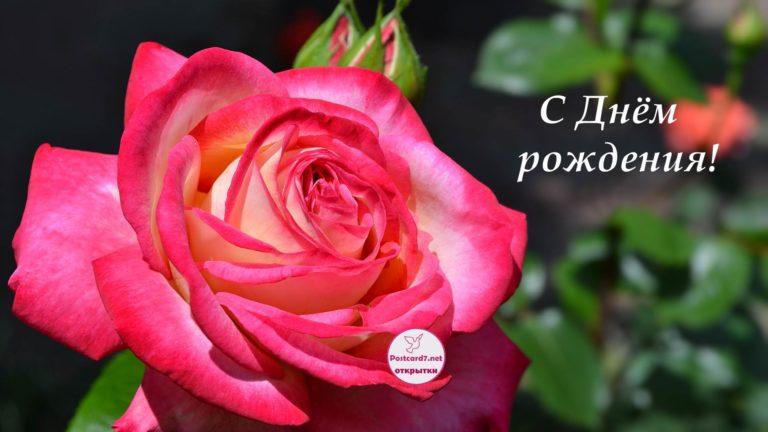 Поздравление с днём рождения розу
