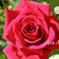 Открытка для Лизы, роза