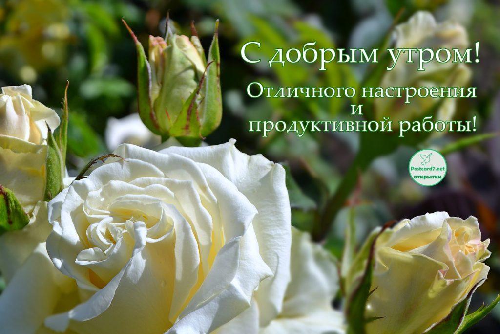 Белая роза с бутонами в утреннем саду. Открытка - С добрым утром