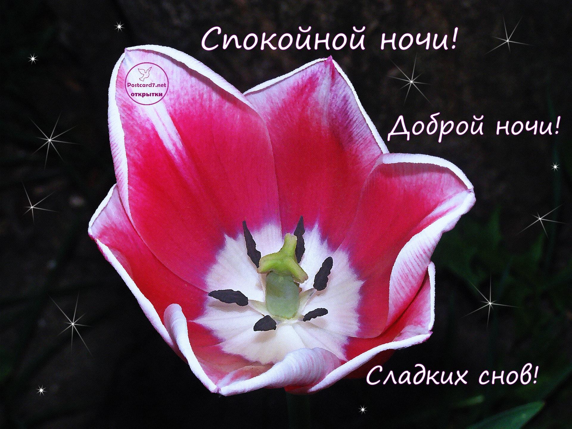 Доброй ночи, тюльпан, открытка