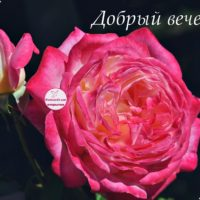 Добрый вечер, розовая роза