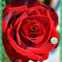 С Днём рождения, красная роза, открытка