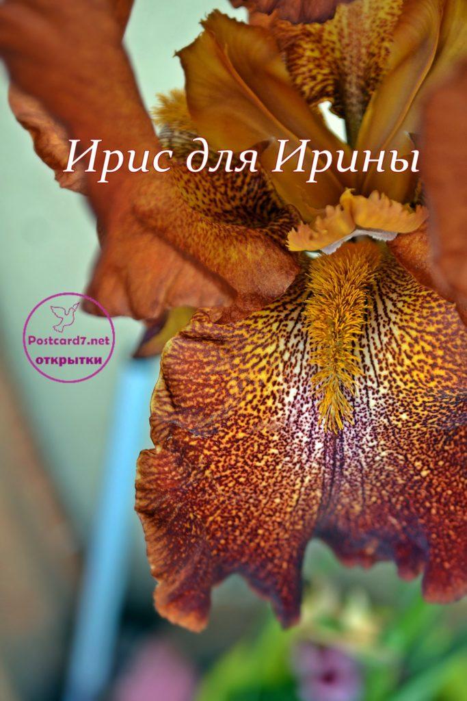 Ирис для Ирины, открытка