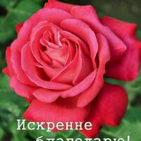 Искренне благодарю, открытка роза