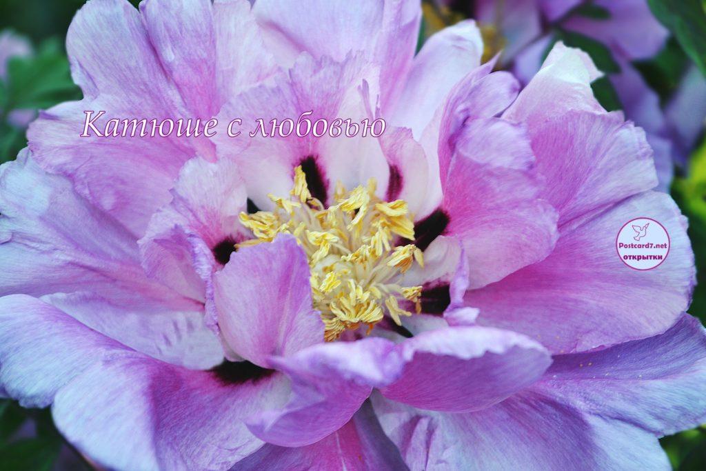 Катюше с любовью, открытка, цветок