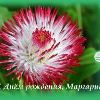 Цветок маргаритка, открытка для Маргариты