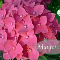 Машеньке, открытка с цветущей гортензией
