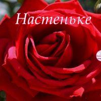 Настеньке, открытка с розой