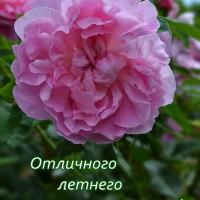 летняя открытка, роза