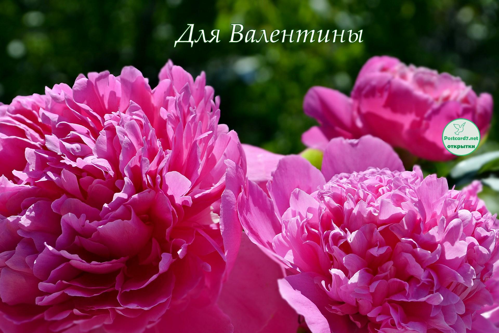 Пионы для Валентины, открытка