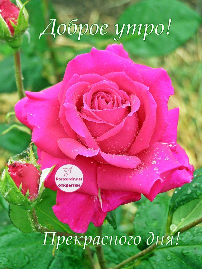 Прекрасного дня, открытка с розой