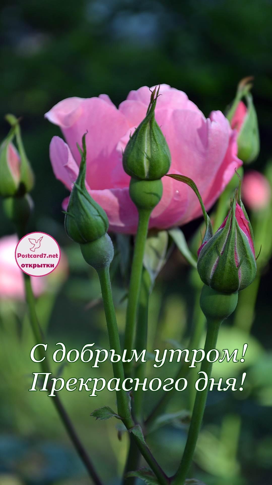 роза, с добрым утром, открытка