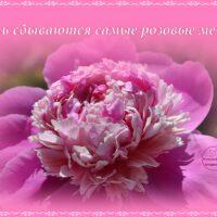 Розовый пион, открытка. Пусть сбываются самые розовые мечты