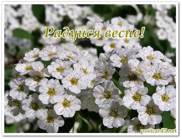 Радуйся весне, открытка, цветущая спирея