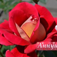 Роза Аннушке, открытка
