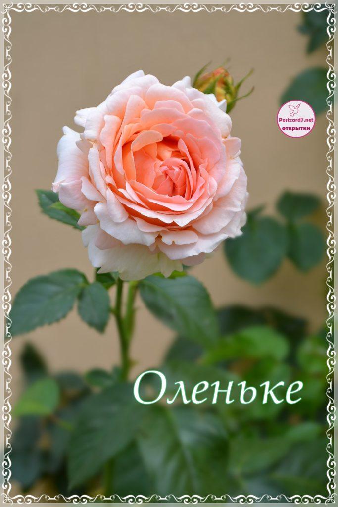 Открытка с розой, Оленьке