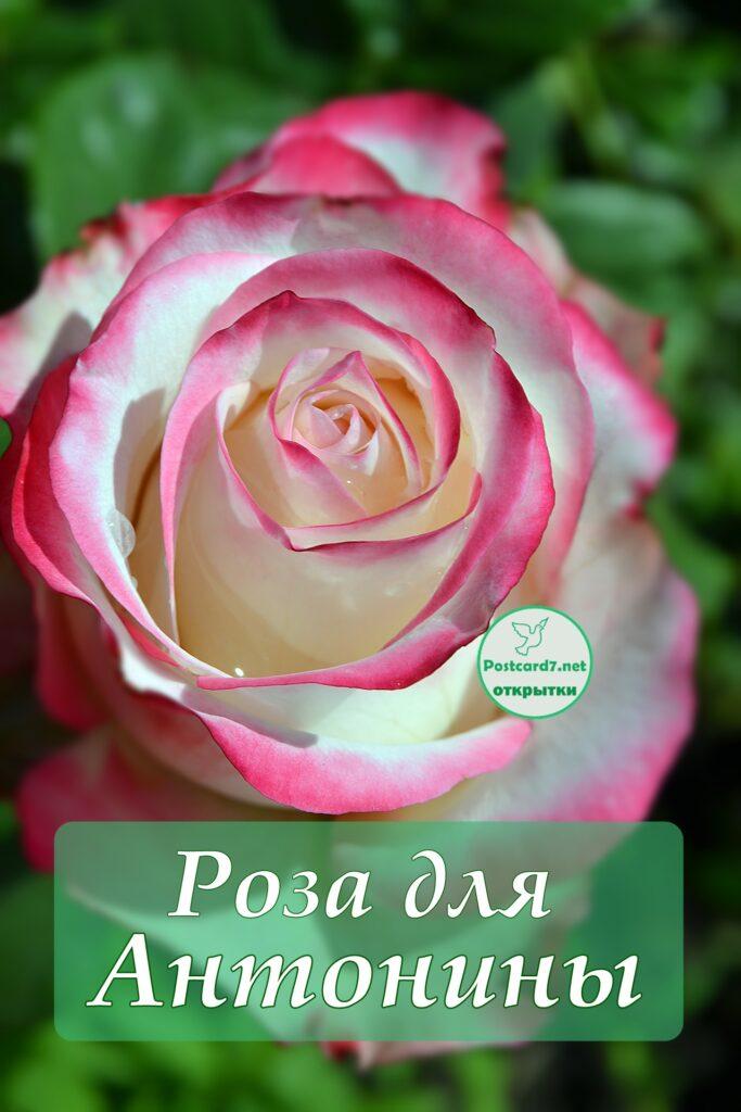 Бело-розовая роза Антонине, открытка