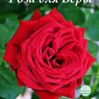 Красная роза для Веры, открытка