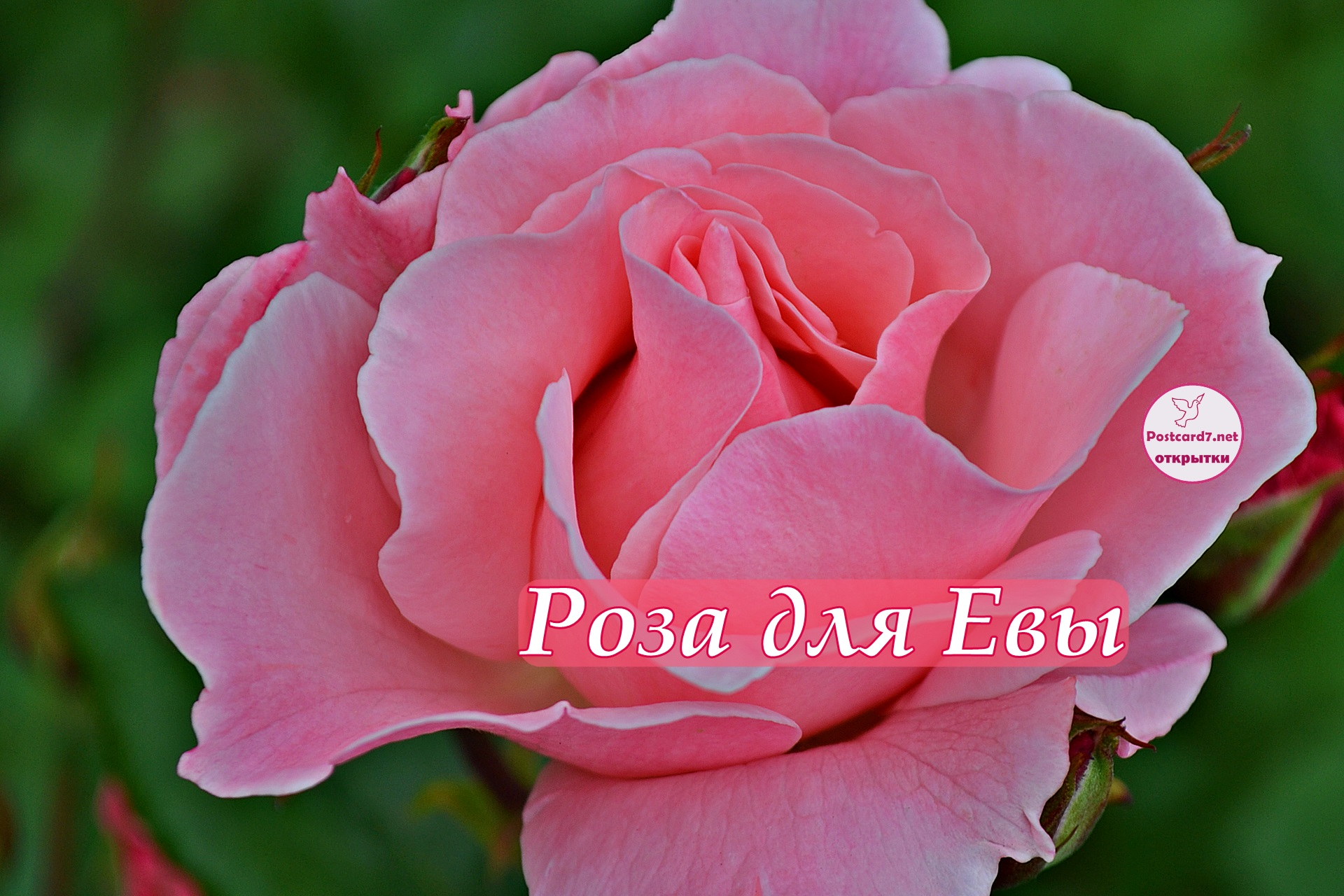 Розовая роза Еве, красивая открытка