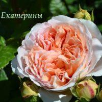 Пышная светлая роза с волнистыми лепестками. Открытка для Екатерины