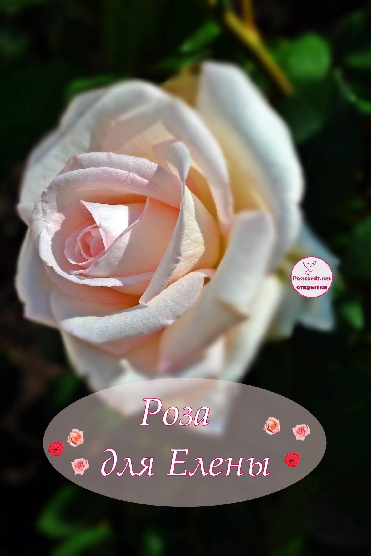 Светло-розовая роза для Елены, именная открытка