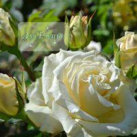 Открытка - Белая роза с бутонами - для Елены