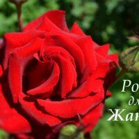 Красная роза, открытка для Жанны