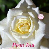 Белая роза для Карины, открытка