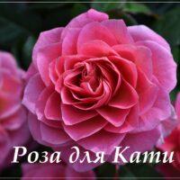 Открытка - красивая роза для Кати