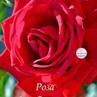 Роза для Светланы, открытка