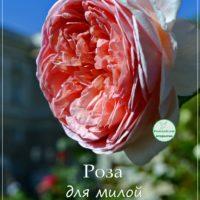Роза для милой Сонечки, открытка