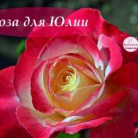 Роза для Юлии, открытка