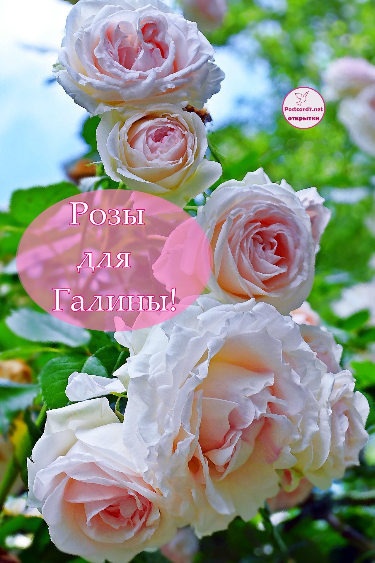 Розы для Галины, открытка