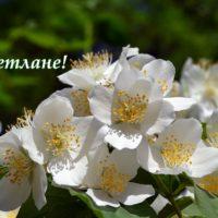 Открытка с цветущим чубушником, Светлане