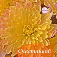 Счастливой осени! Открытка - Жёлтая хризантема