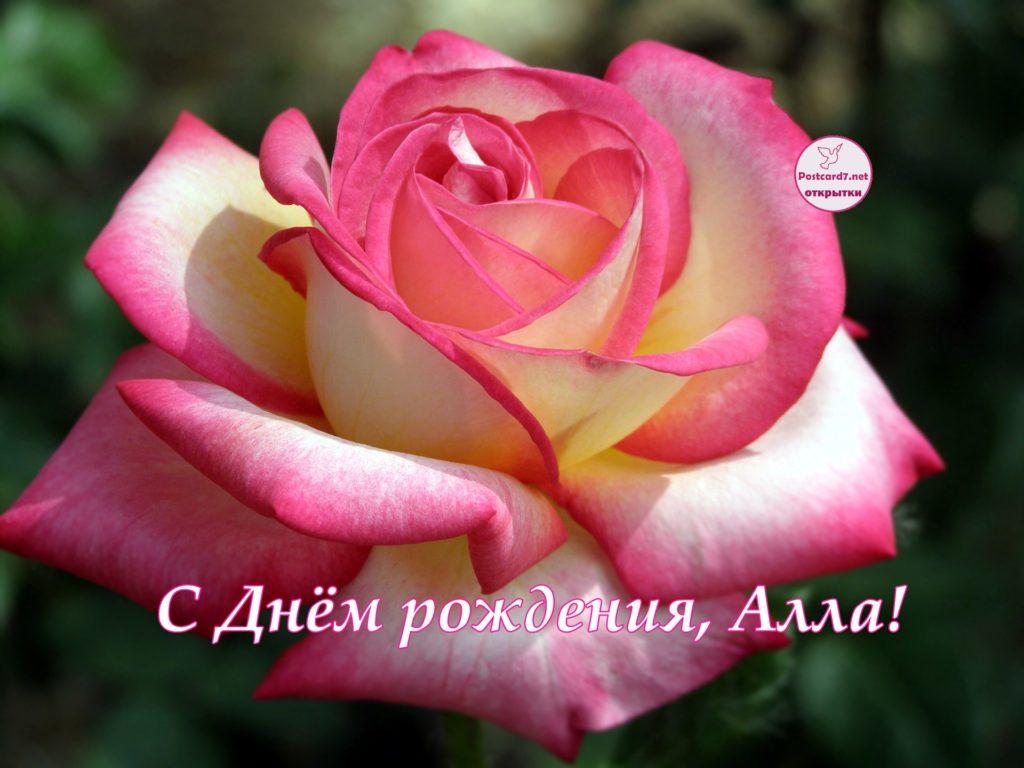 шикарная роза на весь экран в День рождения для Аллы