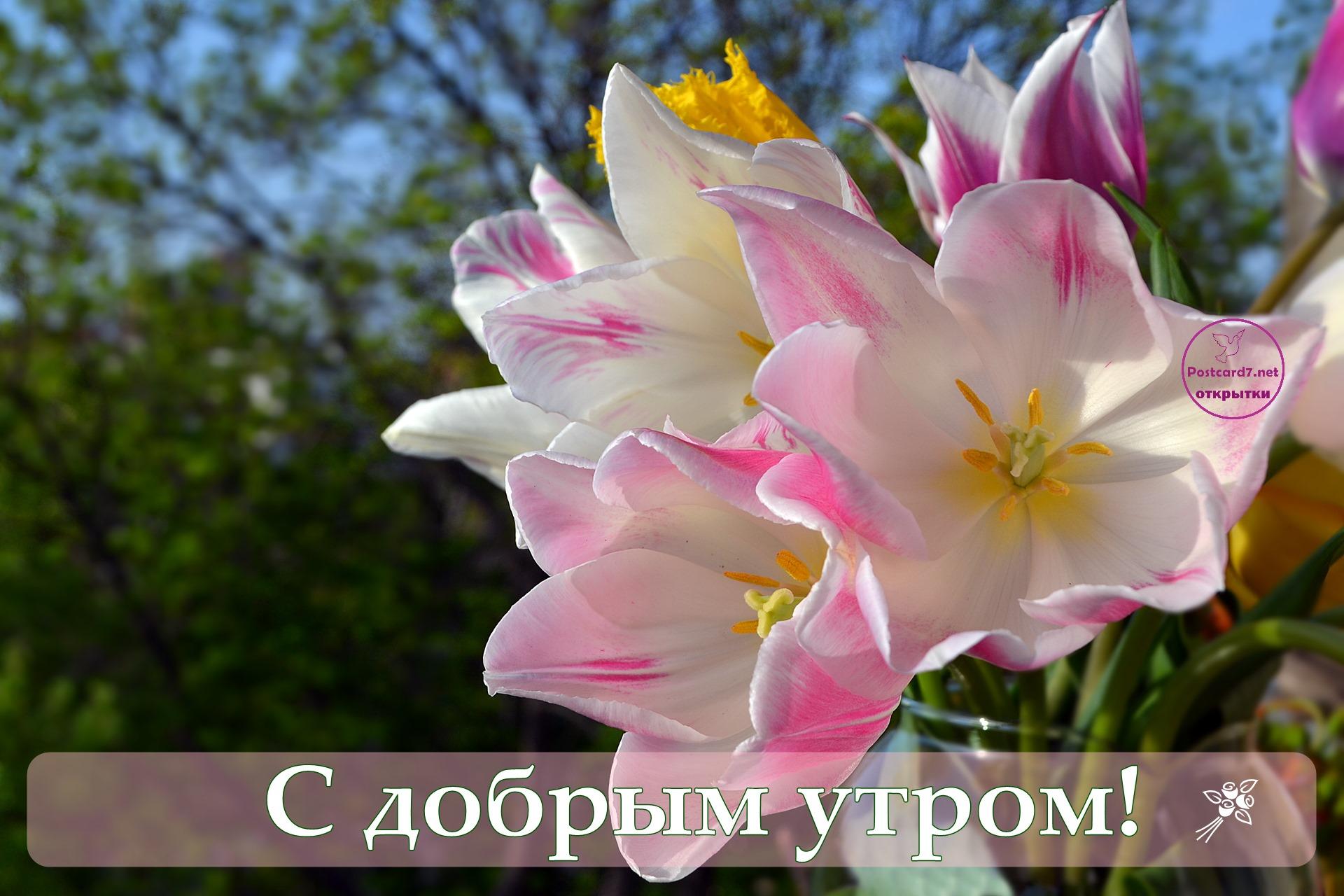 Букетик весенних тюльпанов, открытка, С добрым утром