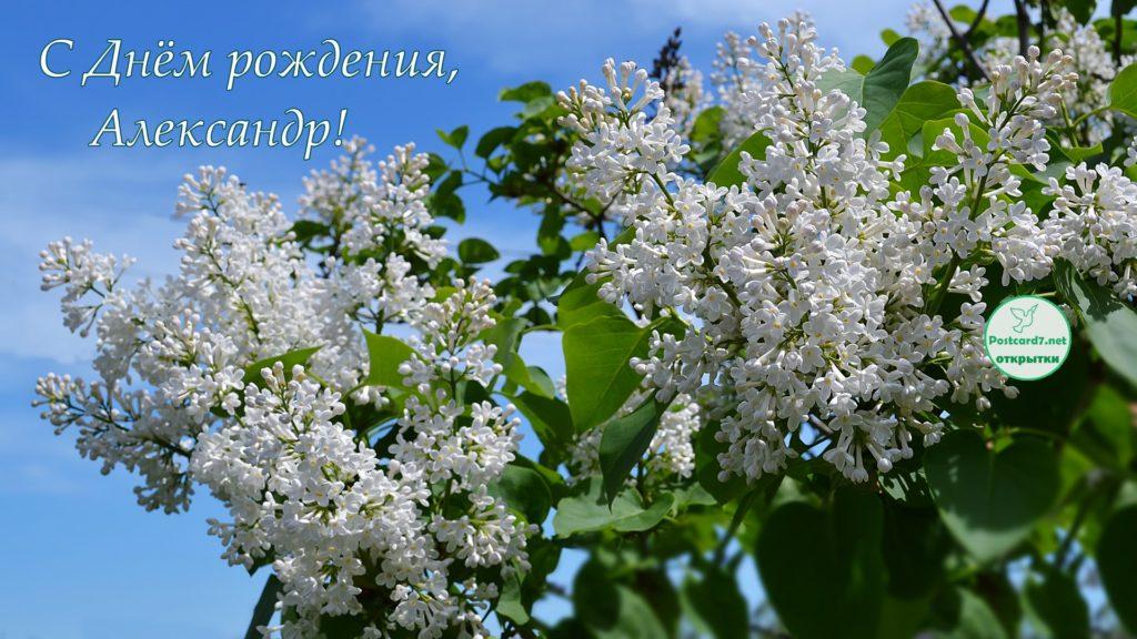 С Днём рождения, Александр, открытка, белая сирень