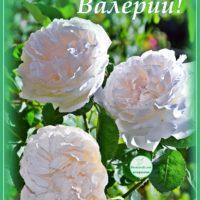 Три светлых розы, открытка для Валерия