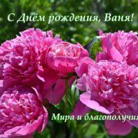Открытка с Днём рождения для Ивана - Розовые пионы.