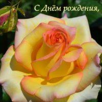 Открытка - Чайная роза с яркими краешками лепестков. С Днём рождения, Вика!