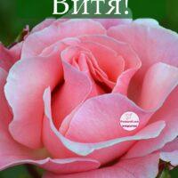 С Днём рождения, Витя; открытка с розой