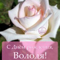 С Днём рождения, Владимир; открытка с красивой светлой розой вблизи